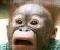 JigSaw Puzzle Monkey